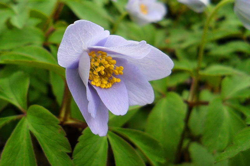 A close up horizontal image of a light blue Anemone nemorosa 'Robinsoniana' with foliage in soft focus in the background.