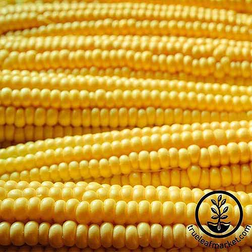 A close up square image of a pile of 'Robust Yellow' popcorn cobs. To the bottom right of the frame is a black circular logo with text.