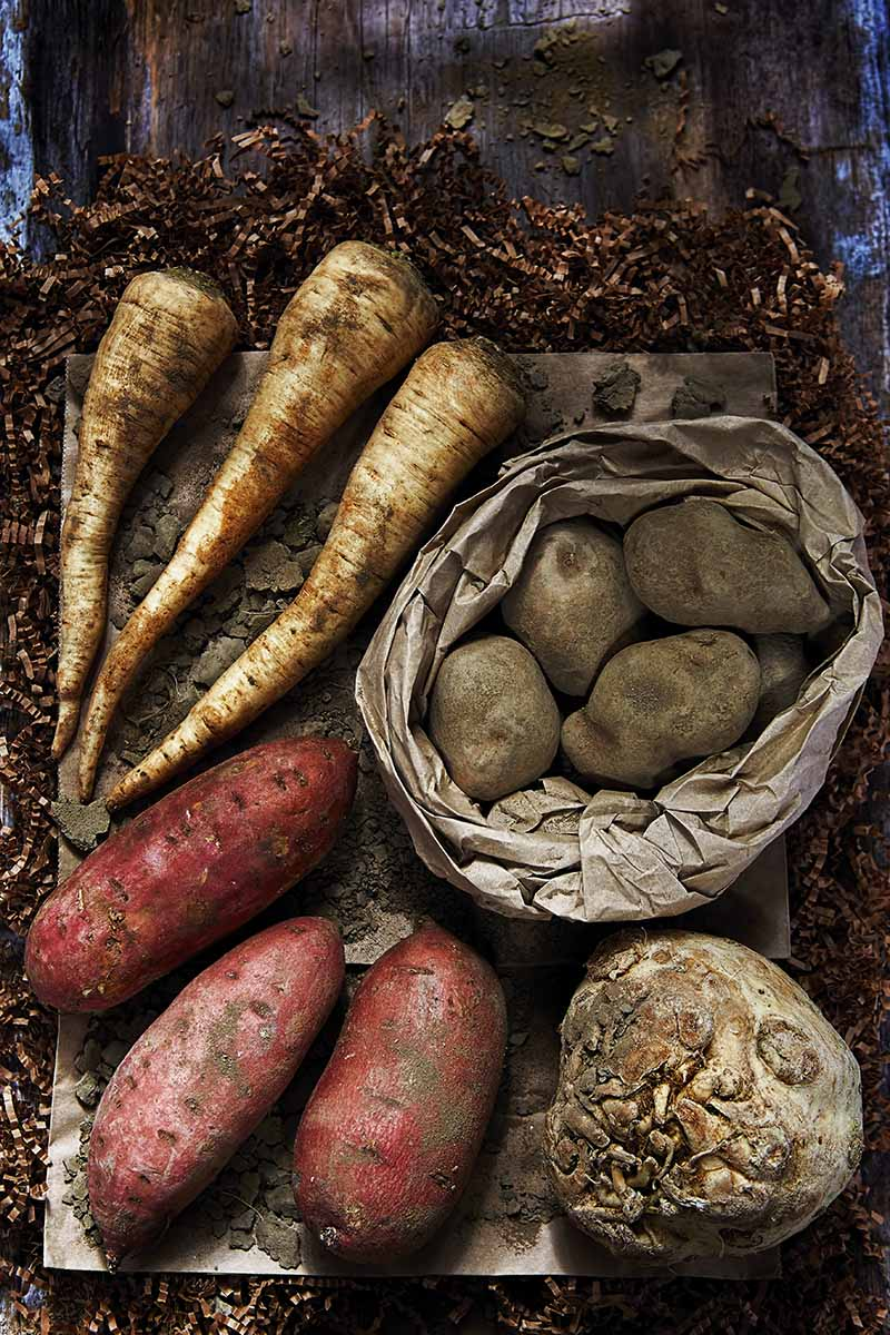 A close up vertical image of root crops parsnips, potatoes, and celeriac harvested from the garden and set in a root cellar for storage.