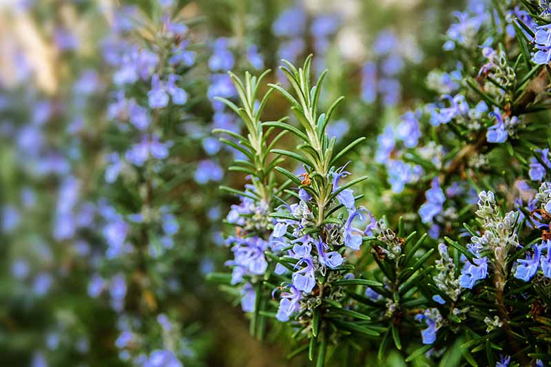 A close up horizontal image of the blue flowers of a rosemary shrub growing in the garden pictured on a soft focus background.