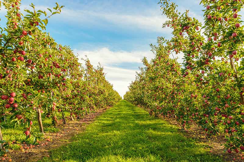 A horizontal image of rows of apple trees growing in an orchard pictured on a blue sky background.