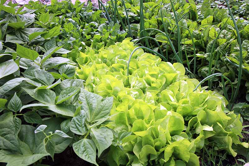 A close up horizontal image of rows of lettuce interplanted with onions and other vegetable crops.