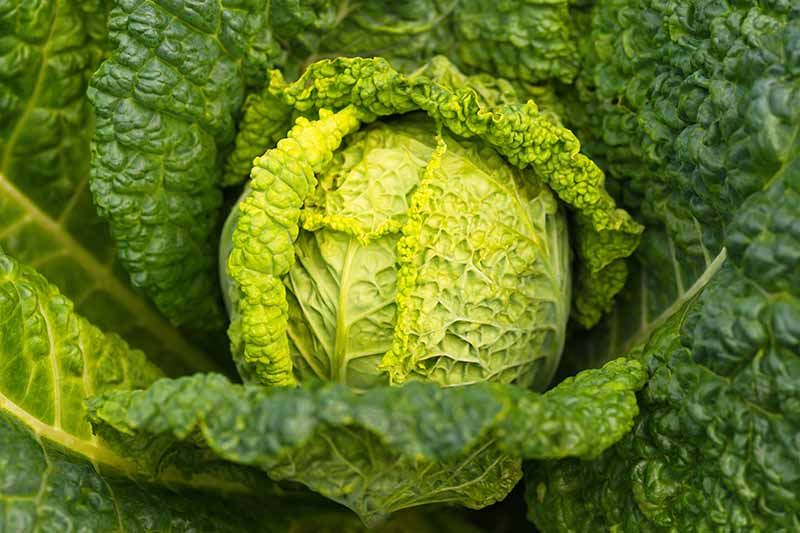 A close up horizontal image of a head of Savoy cabbage growing in the garden ready to harvest.