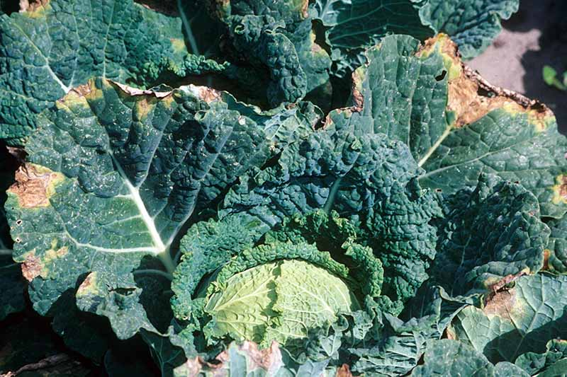 A close up horizontal image of a savoy cabbage with the outer leaves suffering from symptoms of black rot growing in the garden pictured in bright sunshine.