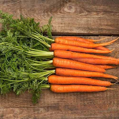A close up square image of a bunch of 'Scarlet Nantes' carrots set on a wooden surface.