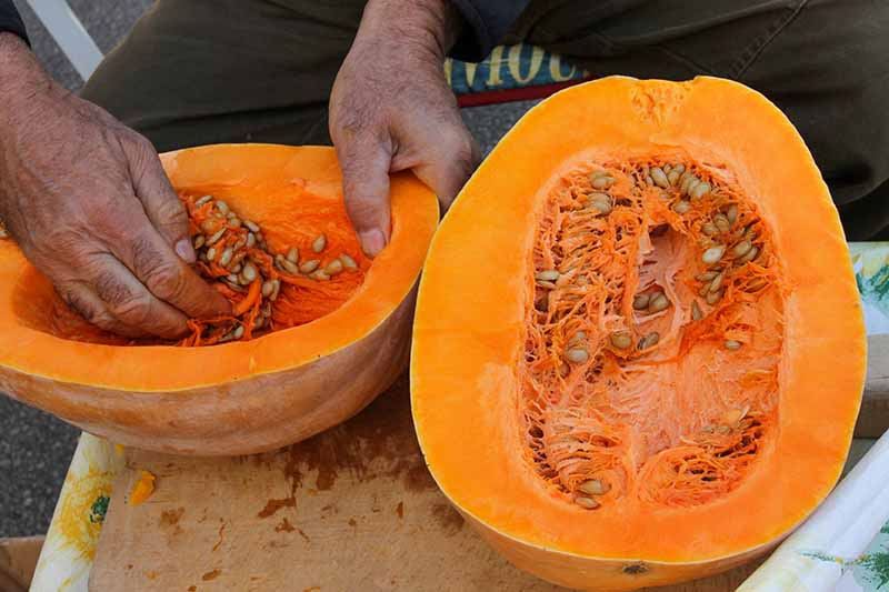 A close up horizontal image of a person removing the seeds from a pumpkin that has been cut in half.