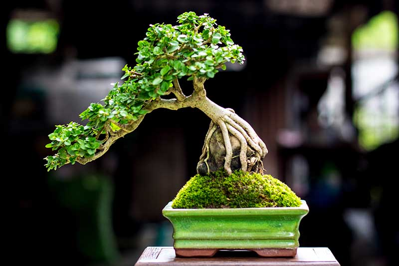 A close up horizontal image of a seki-joju style of bonsai pictured on a soft focus background.