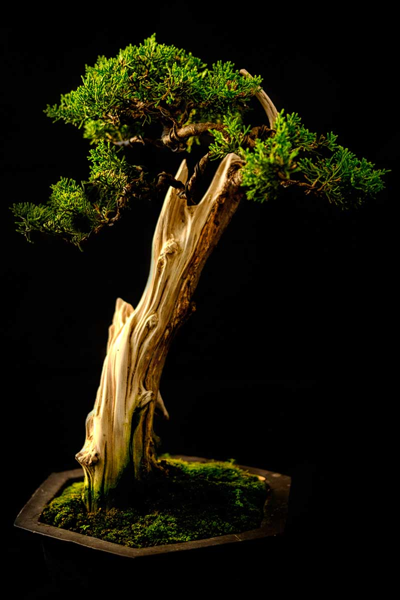 A close up vertical image of a slanting style of bonsai tree pictured on a dark background.