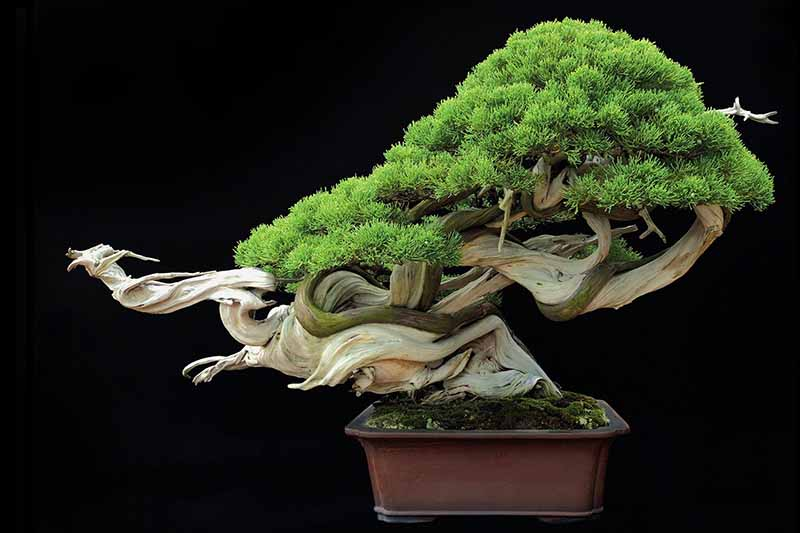 A close up horizontal image of a sharimiki or driftwood style of bonsai pruning pictured on a dark background.