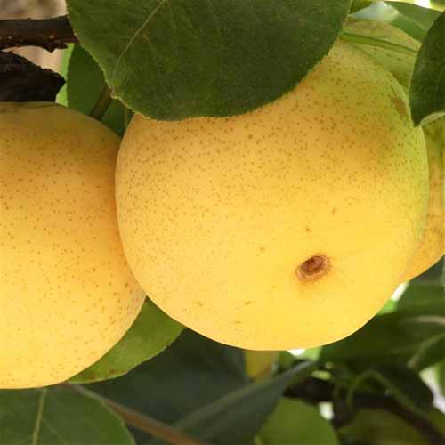 A close up square image of 'Shinseiki' pears growing in the garden ready for harvest, with foliage in soft focus in the background.