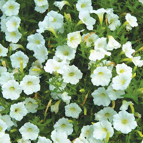 A close up square image of Shock Wave 'Coconut' white petunias growing in the garden.