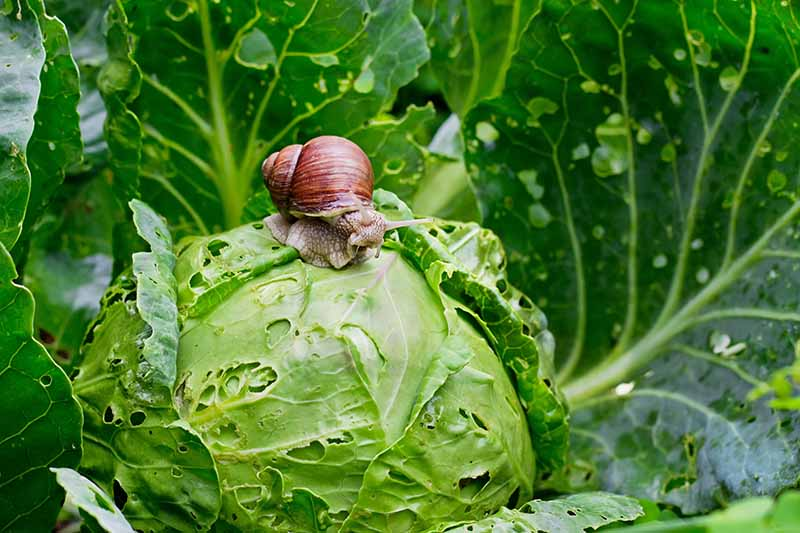 A close up horizontal image of a large snail on a cabbage head chewing holes in the leaves.