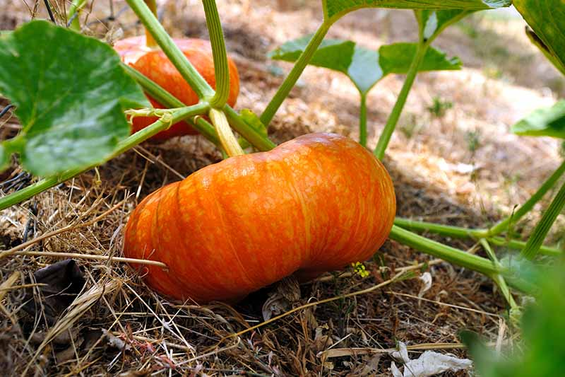 A close up horizontal image of a small 'Cinderella' pumpkin growing in the garden on the vine.