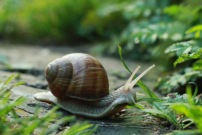 A close up horizontal image of a snail moving towards a vegetable patch in search of food.