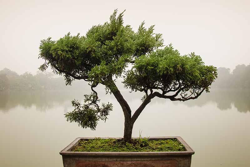 A close up horizontal image of a sokan (double) bonsai tree with a large lake in soft focus in the background.