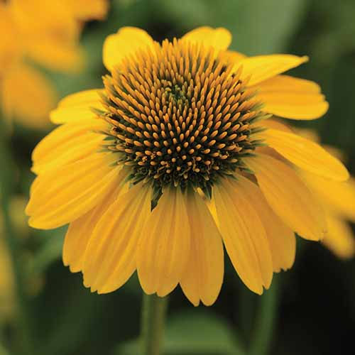 A close up square image of a 'Sombrero Lemon Yellow' coneflower pictured on a soft focus background.