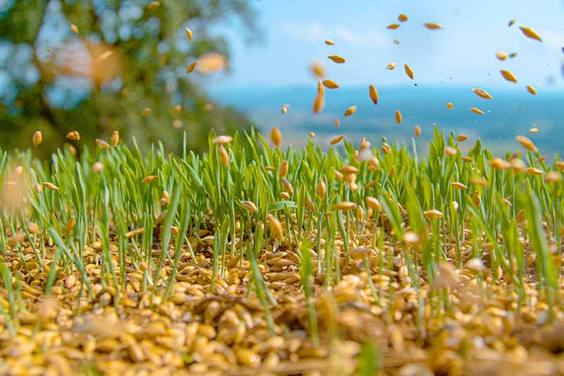 A close up horizontal image of seeds being broadcast on a field with landscape in soft focus in the background.