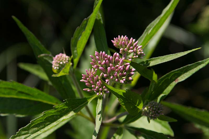 A close up horizontal image of joe-pye weed flower buds ready to bloom pictured on a soft focus background.