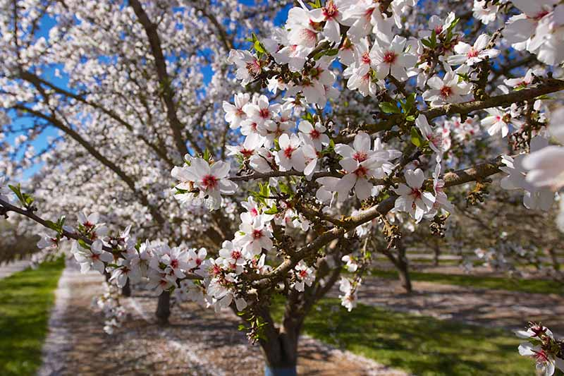 A close up horizontal image of the spring blossoms on almond trees growing in an orchard pictured in light sunshine.