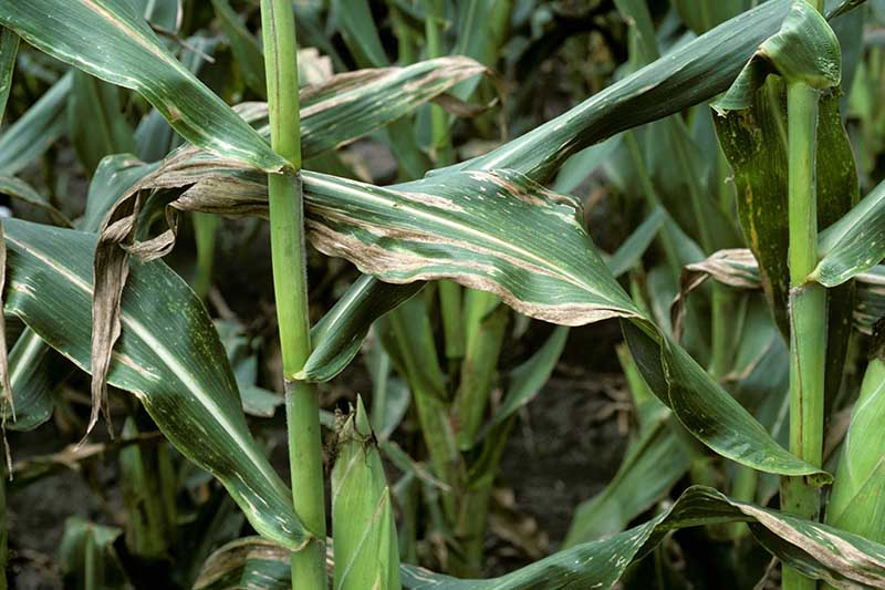 A close up horizontal image of corn growing in the garden that is infected with Stewart's wilt.