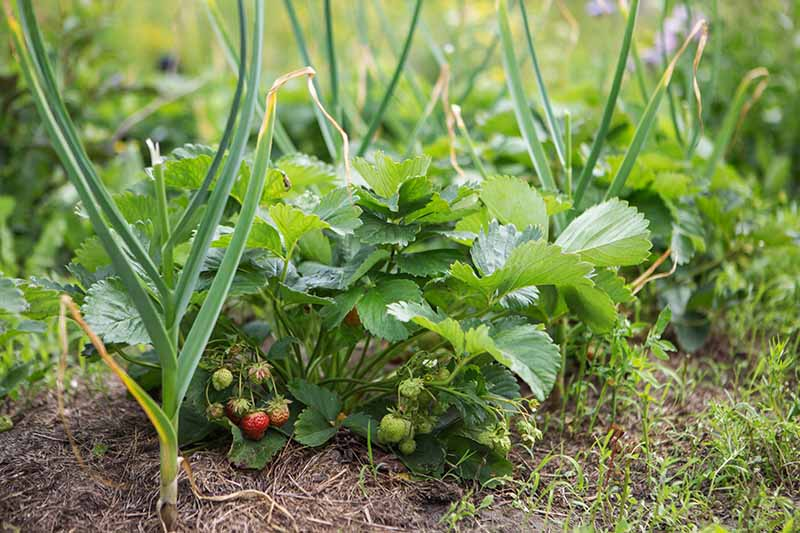 A close up horizontal image of strawberries and onions growing in the garden.