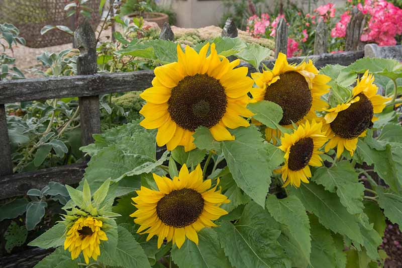 A close up horizontal image of sunflowers growing by a wooden fence.