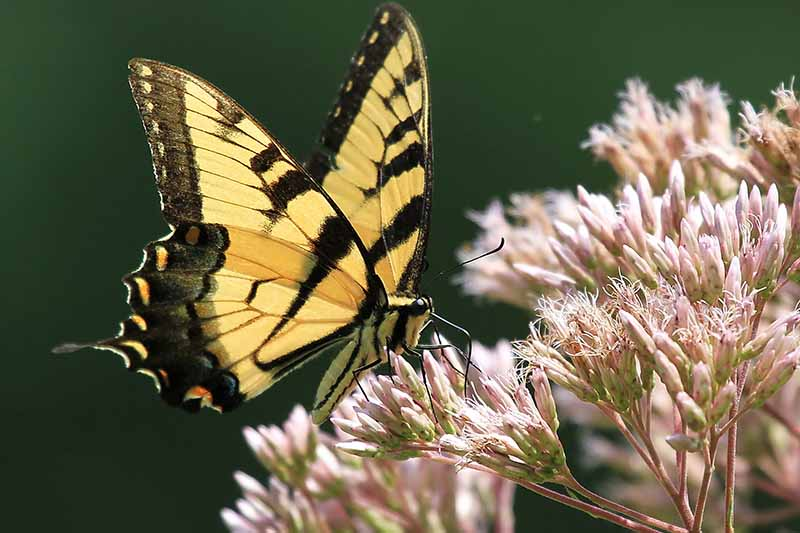 A close up horizontal image of a swallowtail butterfly feeding from a fading joe-pye weed flower pictured in bright sunshine on a soft focus background.
