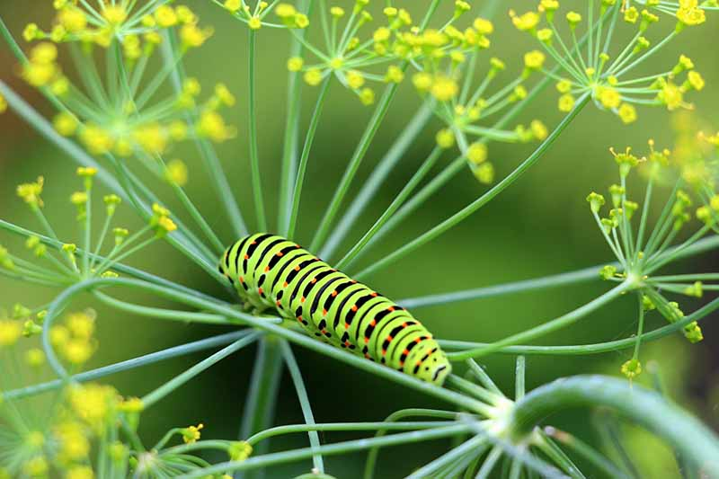 A close up horizontal image of the brightly colored, striped larvae of the swallowtail butterfly on an umbellifer pictured on a soft focus background.