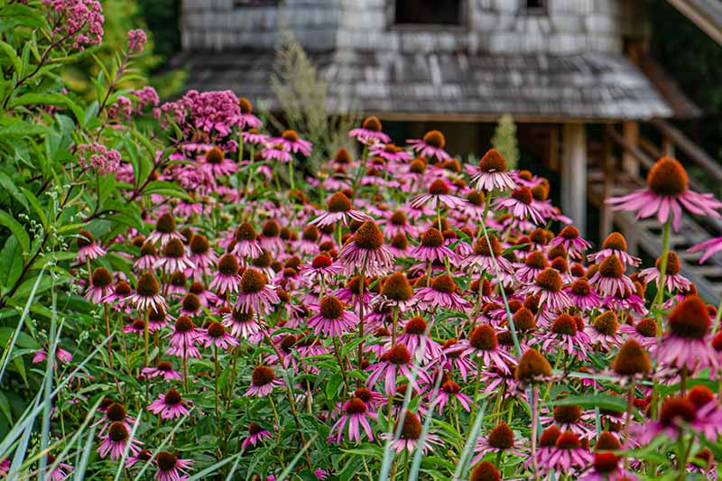 A horizontal image of a large swathe of purple coneflowers growing in a meadow outside a wooden residence.