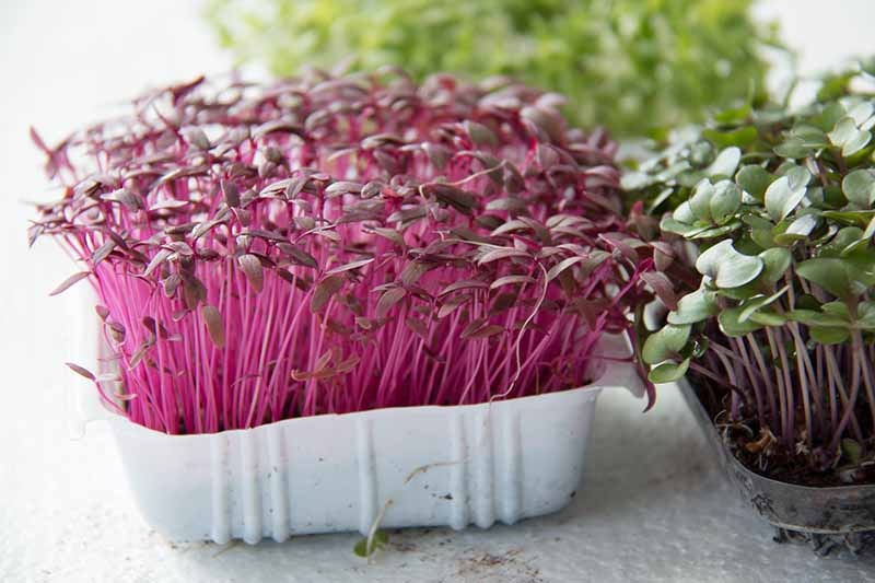A close up horizontal image of small plastic containers growing microgreens set on a white surface.