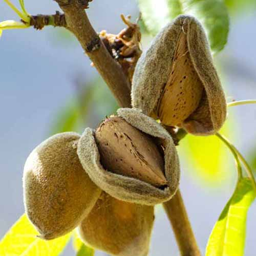 A close up square image of 'Texas Mission' almonds growing on the tree pictured on a soft focus background.
