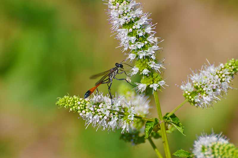 A close up horizontal image of a thread-waisted wasp on the flowers of a mint plant pictured on a soft focus background.