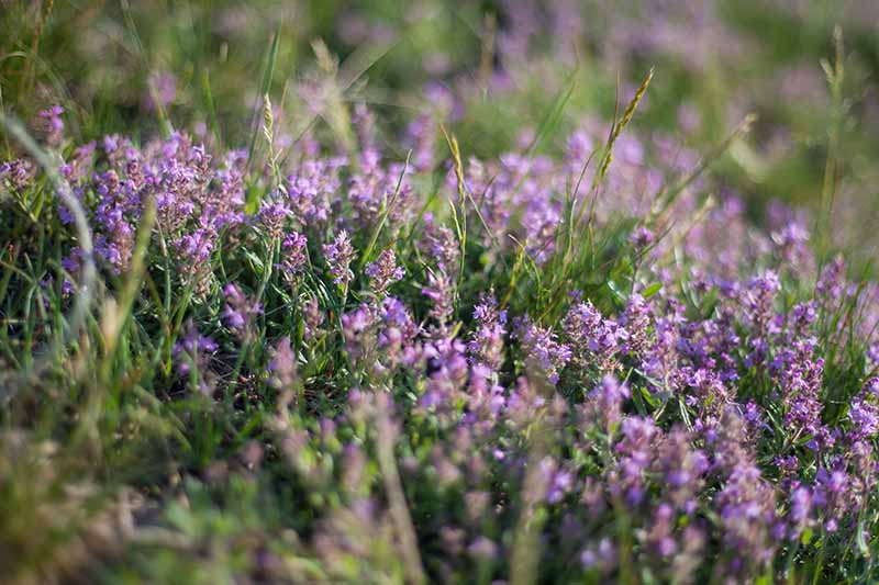 A close up horizontal image of the purple flowers of thyme growing in the garden pictured on a soft focus background.