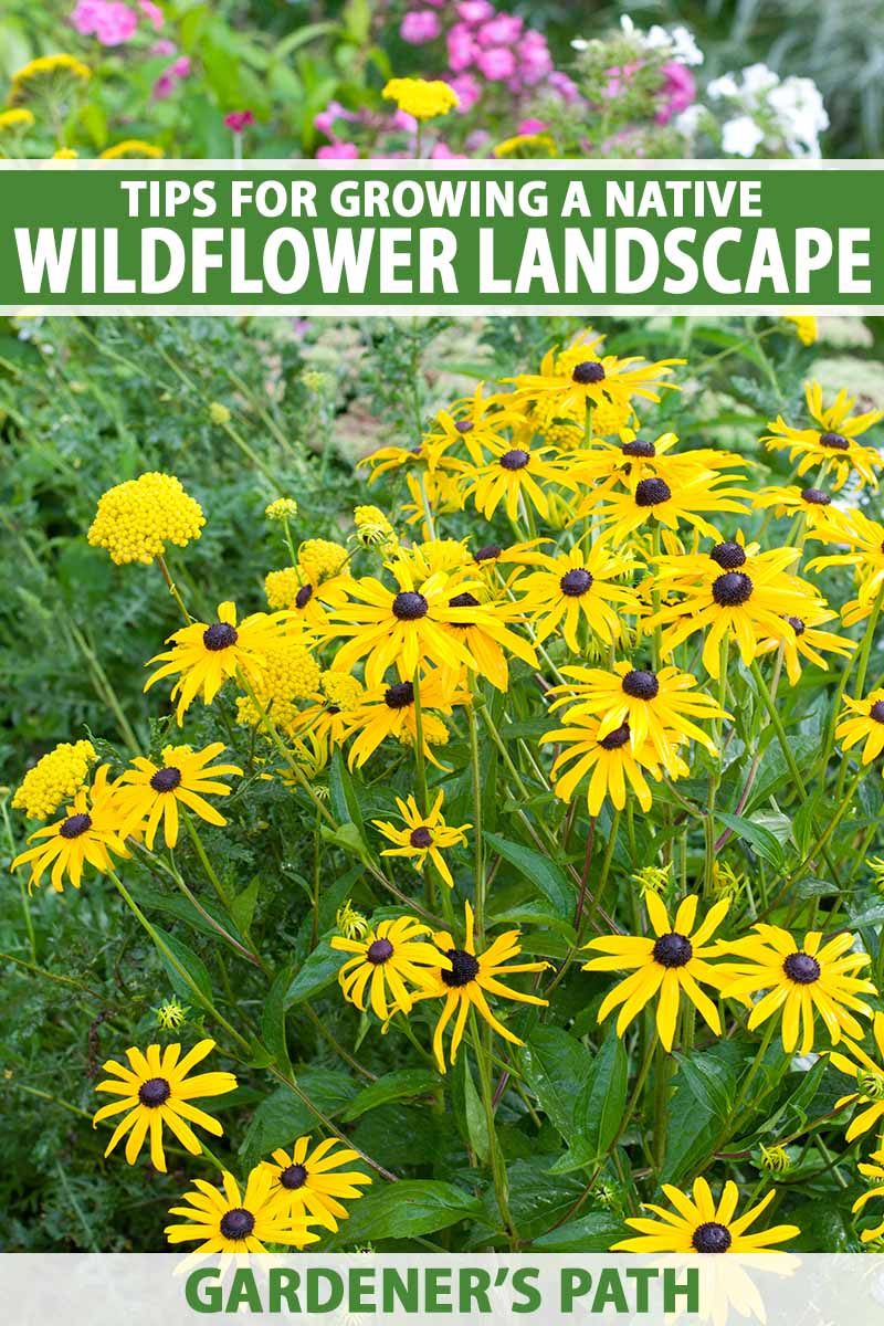 A close up vertical image of bright yellow native wildflowers growing in a naturalized setting. To the top and bottom of the frame is green and white printed text.