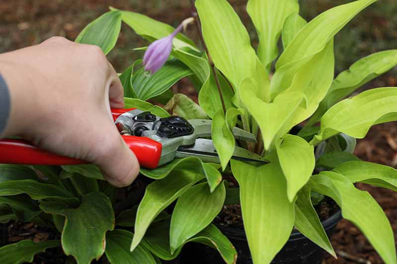 A close up horizontal image of a hand from the left of the frame holding a pair of pruners to trim flower scapes off a hosta plant.