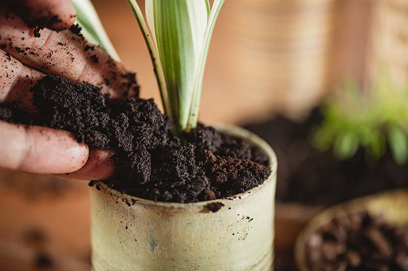 A close up horizontal image of a hand from the left of the frame applying coffee grounds to a plant growing in a small pot.