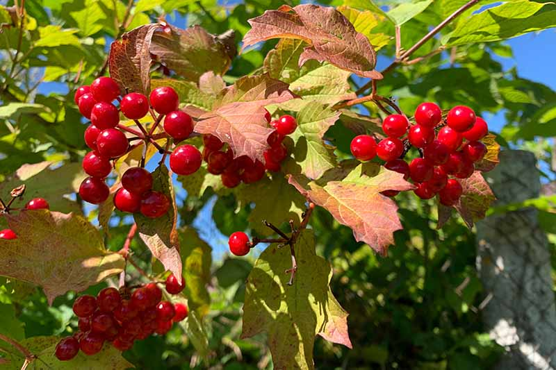A close up horizontal image of the red berries of Viburnum opulus growing in the garden pictured in bright sunshine on a blue sky background.