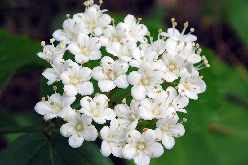 A close up horizontal image of the white flowers of Viburnum rafinesquianum growing in the garden pictured on a soft focus background.