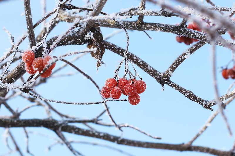A close up horizontal image of the red fruits of Viburnum trilobum growing in the winter with a light dusting of frost pictured on a blue sky background.