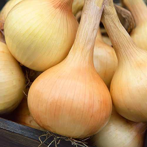 A close up square image of 'Walla Walla' onions harvested and cleaned in a wooden container.