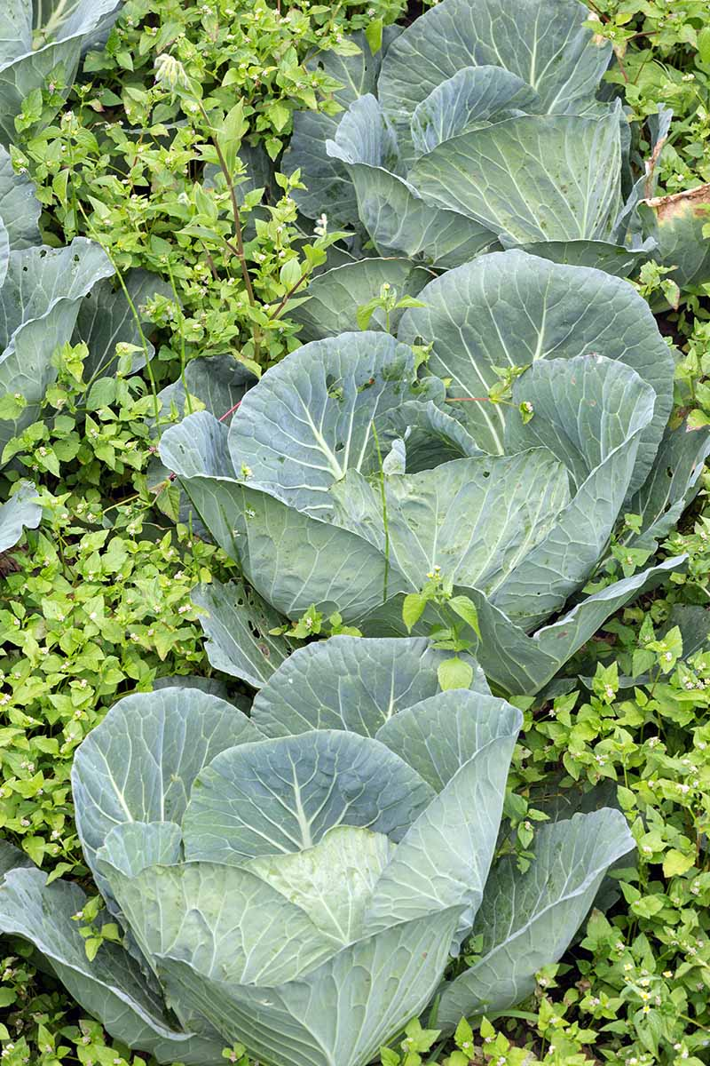 A close up vertical image of cabbages growing in rows with weeds in between acting as ground cover.