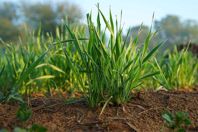 A close up horizontal image of wheat planted as a cover crop pictured on a soft focus background.