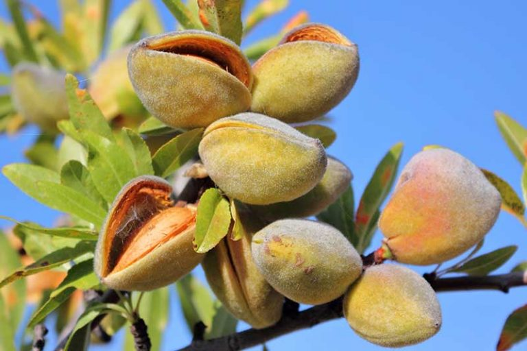 A close up horizontal image of almonds growing on the branches of a tree pictured on a blue sky background.