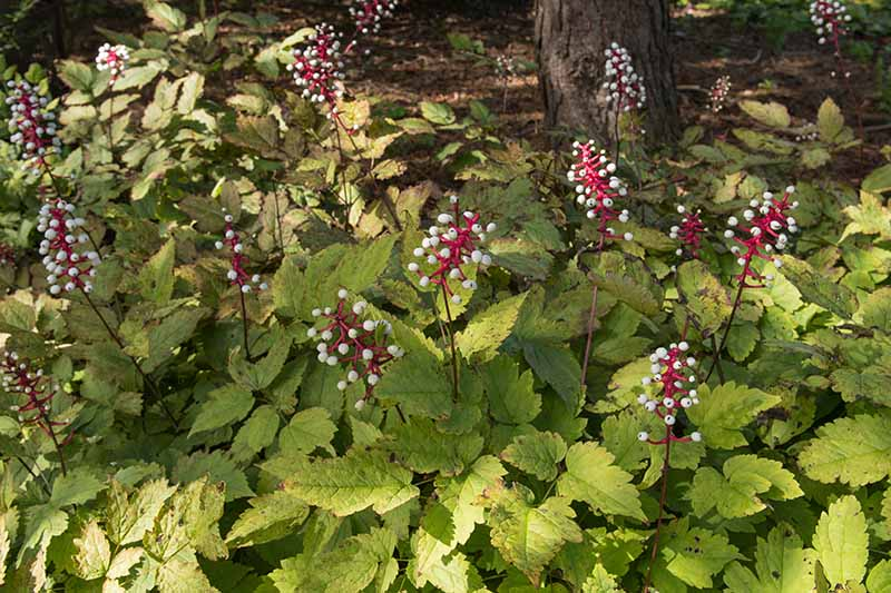 A close up horizontal image of white baneberry (Actaea pachypoda) in fall with white berries growing on red stems.