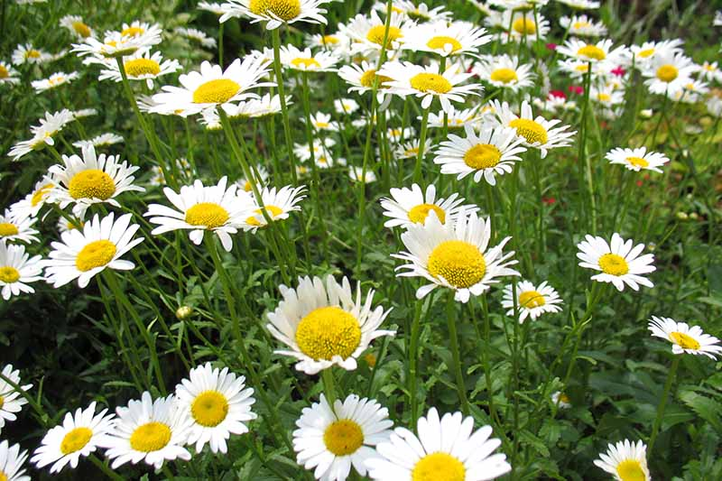 A close up horizontal image of chamomile growing in the garden with white daisy-like flowers.