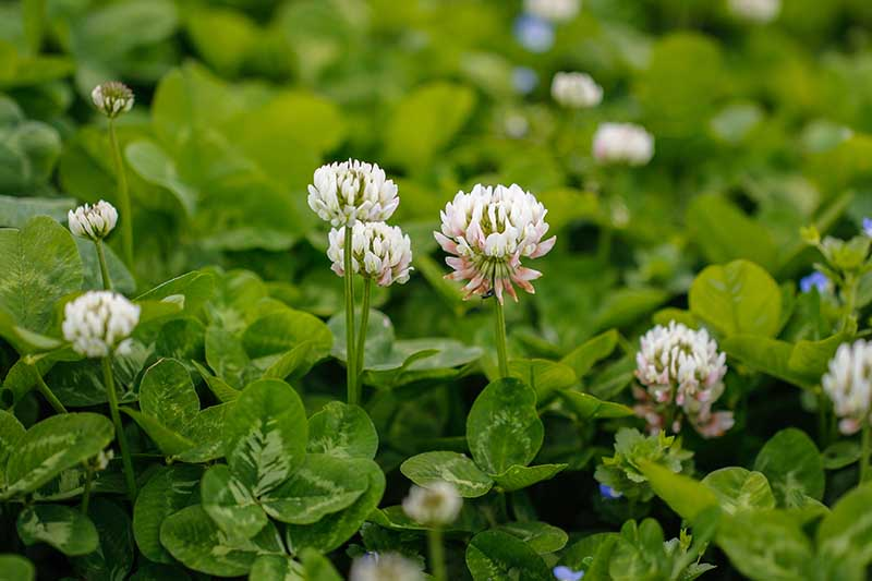 A close up horizontal image of white clover growing in a permaculture garden to fix nitrogen in the soil.