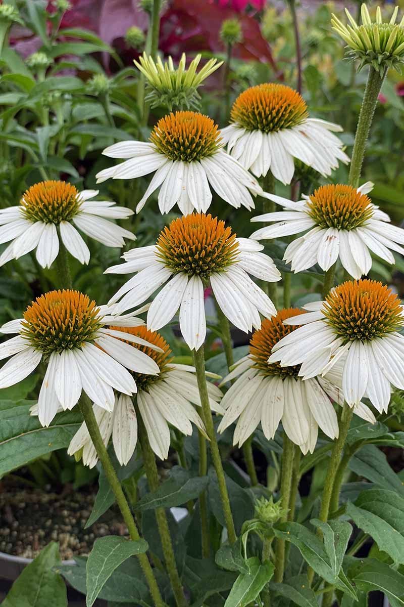 A close up vertical image of white coneflowers growing in the garden pictured on a soft focus background.
