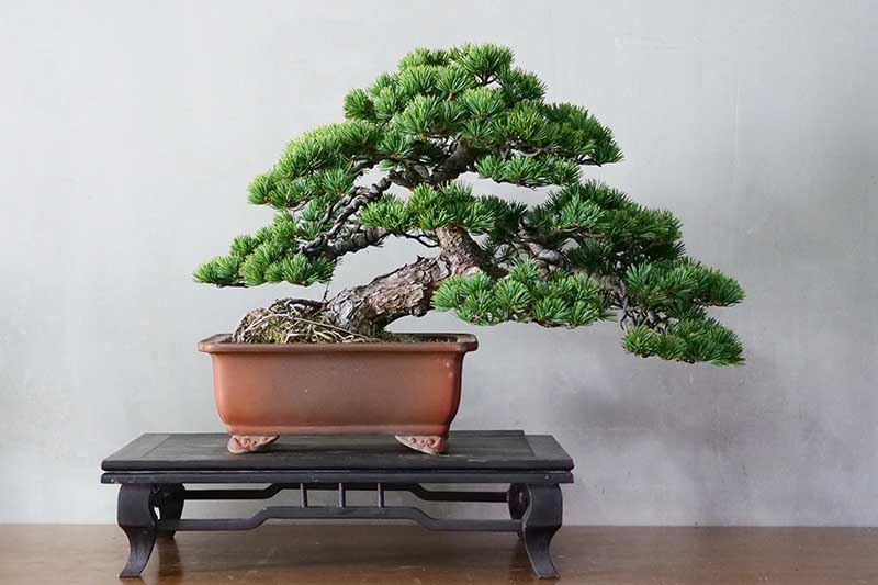 A close up horizontal image of a bonsai tree on a wooden display in front of a light gray wall.