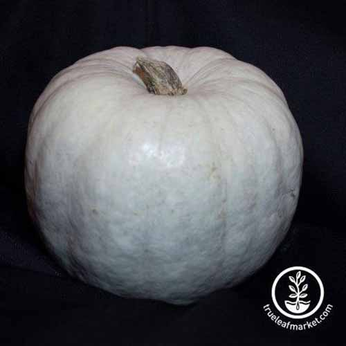 A close up square image of a 'White Queen' pumpkin isolated on a black background. To the bottom right of the frame is a white circular logo with text.