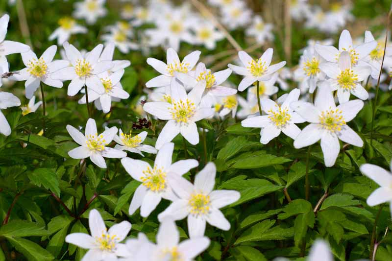 A close up horizontal image of white wood anemone flowers growing in the garden fading to soft focus in the background.